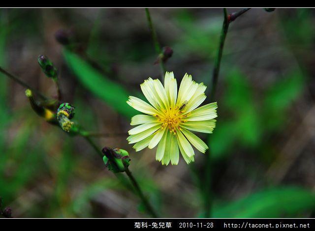 菊科-兔兒草_13.jpg