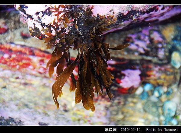 厚緣藻_02.jpg