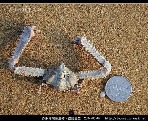 強壯菱蟹_09.jpg