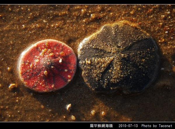 扁平蛛網海錢_04.jpg
