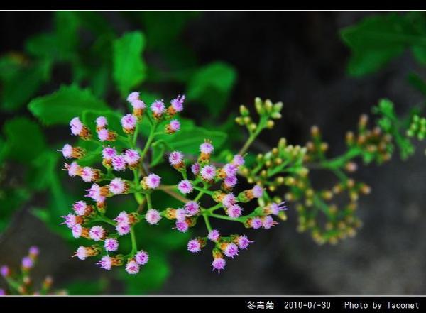冬青菊_09.jpg