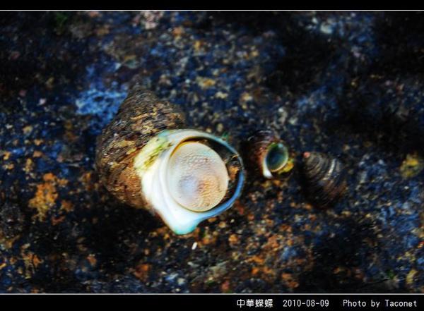 中華蠑螺_05.jpg