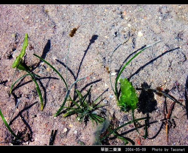 單脈二藥藻_12.jpg