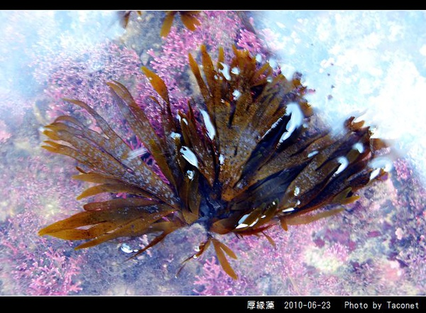 厚緣藻_04.jpg