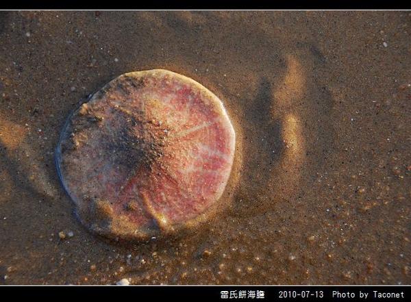 雷氏餅海膽_09.jpg