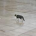 科博館的野貓