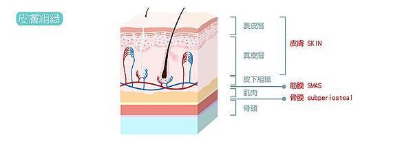 3.皮膚組織