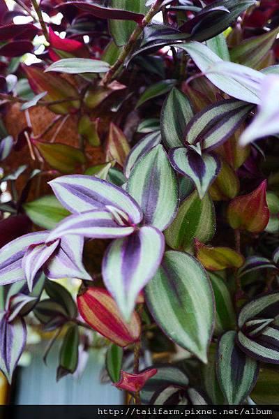 紫背鴨拓草