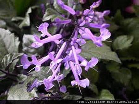紫鳳凰-1