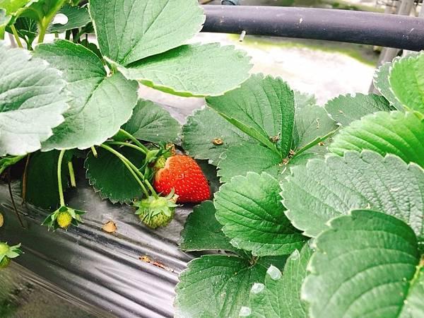 南投採草莓