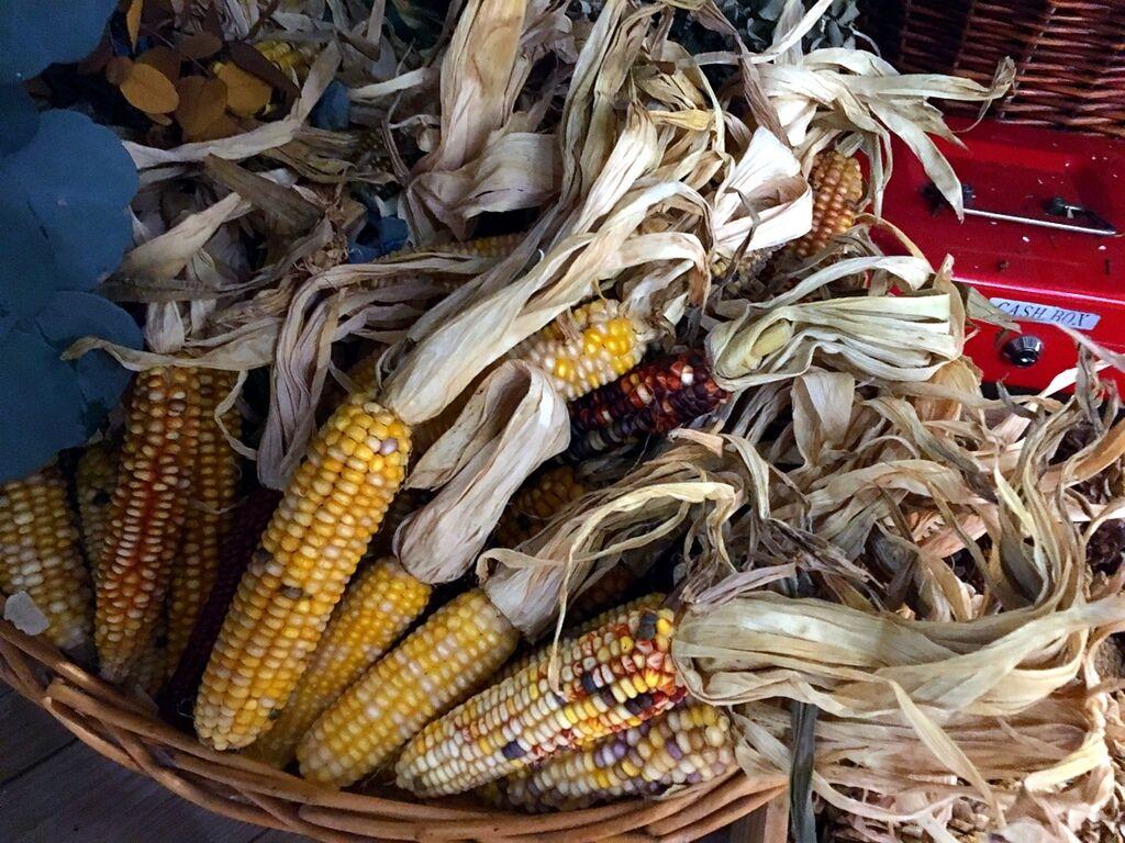 可愛乾燥玉蜀黍