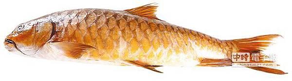 金銅色的「忘不了」是馬來西亞河魚之皇,一公斤價值台幣15000元。