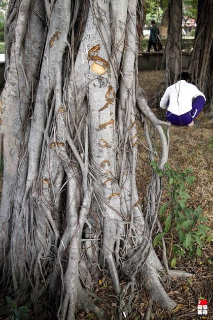 台南市大南門公園內的大榕樹遭人持斧頭砍鑿。辛啟松攝