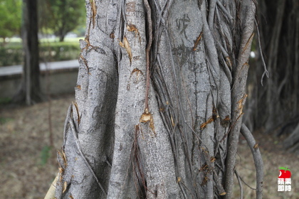 從樹幹上看,明顯就是斧頭砍鑿。辛啟松攝