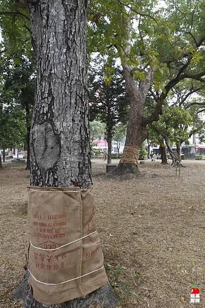大南門公園內數棵百年老樹也遭殃。辛啟松攝