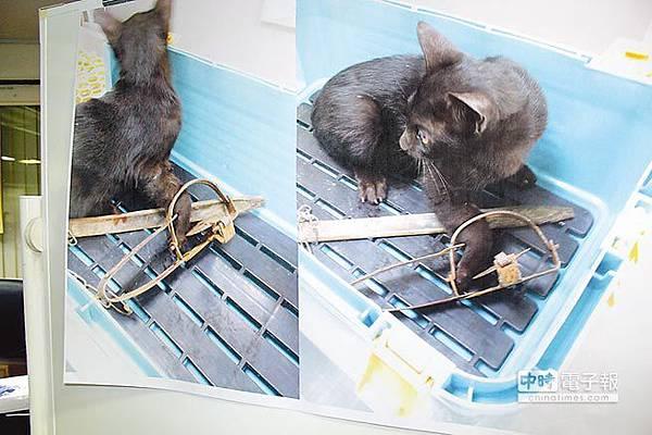 台南市區出現捕獸鋏,有一隻小黑貓被夾住,市議員昨天呼籲政府要嚴格執法。(黃文博攝)