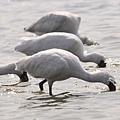 安南區土城一帶的黑面琵鷺度冬族群,低著頭左右搖動覓食。(記者陳治交攝)