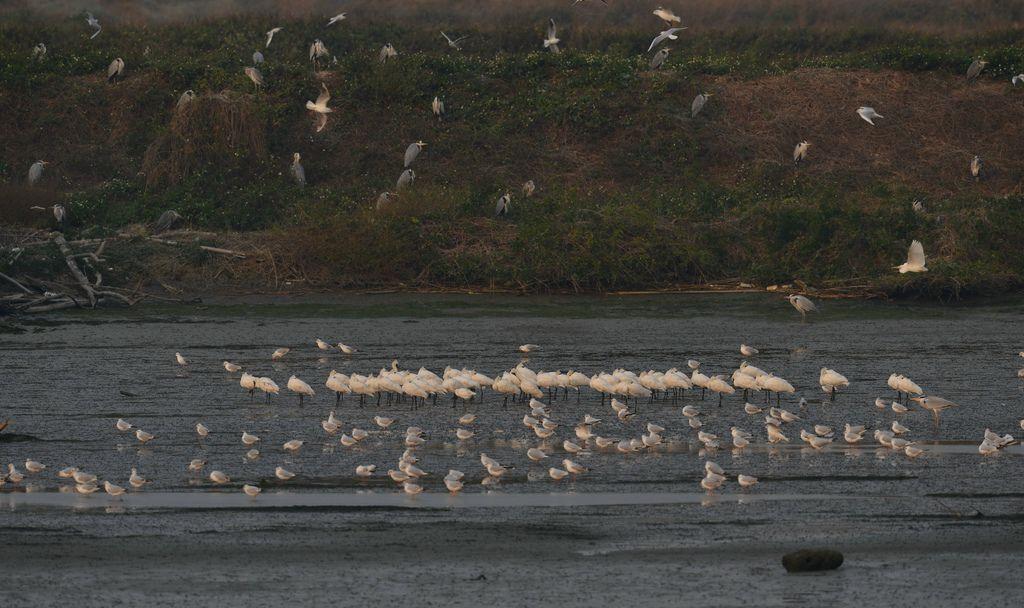 黑琵光臨 學甲生態園區成春節最佳賞鳥地點