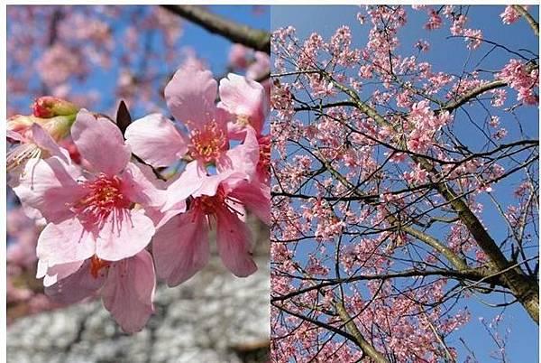 台灣各地櫻花季持續到3月底,讓人一掃收假症候群,延續心花怒放的好心情。