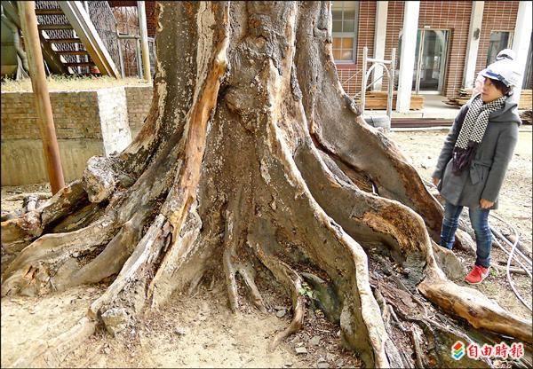 未列保護 府城最大麵包樹死了