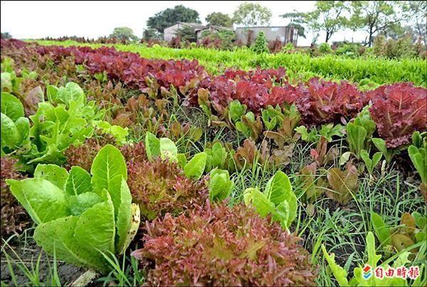 野菜達人林中智,不用農藥和化學肥料,五色蔬菜田裡雜草共生,須人工除草。