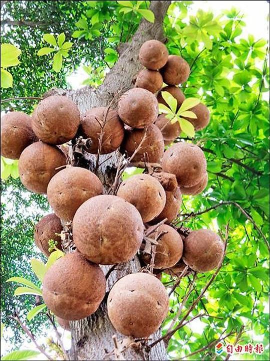這棵砲彈樹結滿了如砲彈般的果實,是光賢公園的砲彈樹王。