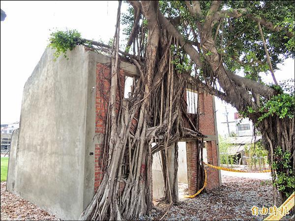 昔日道班班長宿舍牆面被老樹盤踞,成為名副其實的「樹屋」。