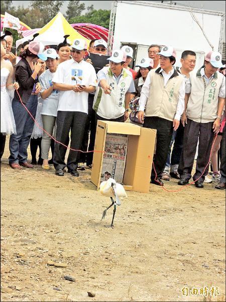 傷癒的黑面琵鷺昨野放,在眾人歡送下離去。