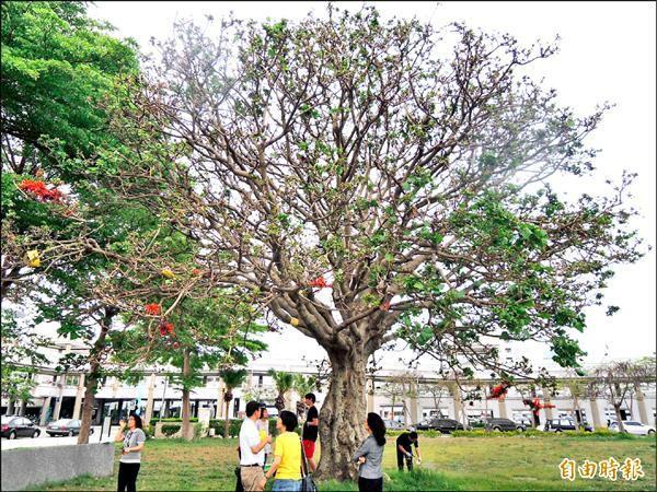市府西拉雅廣場刺桐樹,枝頭上已開花。