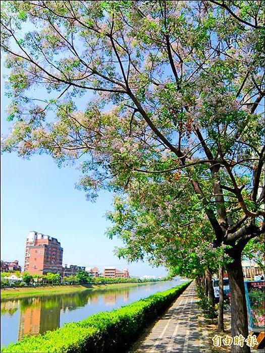 山海圳綠道安南段,每年春天苦楝花開,十分漂亮。
