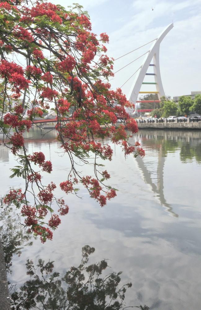 台南運河東段北岸的鳳凰木綻開火紅花朵,鳳凰花在水中形成倒影。