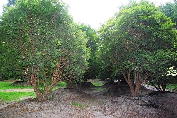 南元花園休閒農場種植樹葡萄成林,最近採收製成果汁售予遊客飲用,深受喜愛。