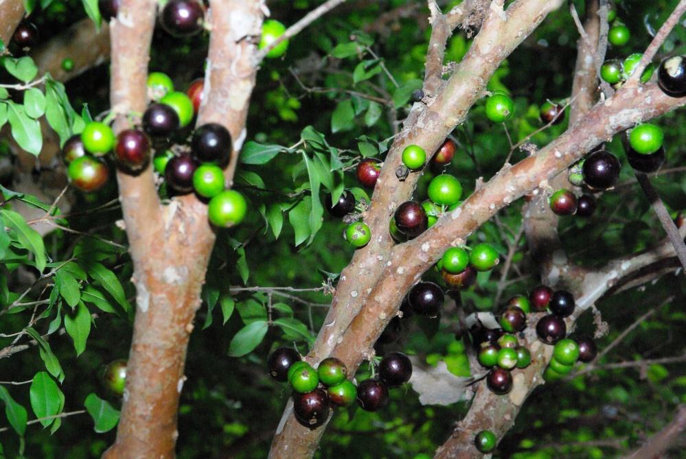 樹葡萄的花和果實都是長在枝幹上,相當特別。