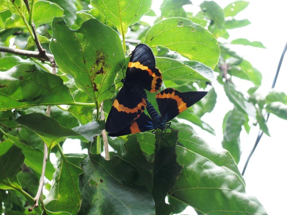 東山咖啡一七五公路上,有漂亮的橙帶藍尺蛾。
