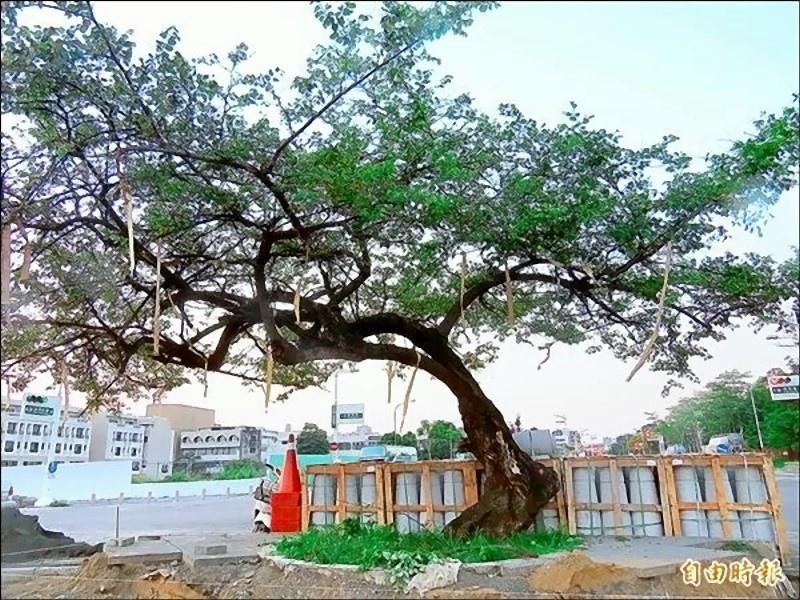 水交社老棗樹 可望列珍貴老樹