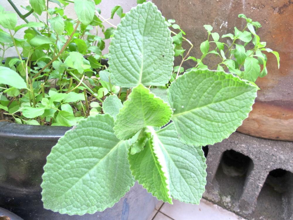 松安社區盛產的香草「到手香」,將陪伴里民在星光古厝內數星星。