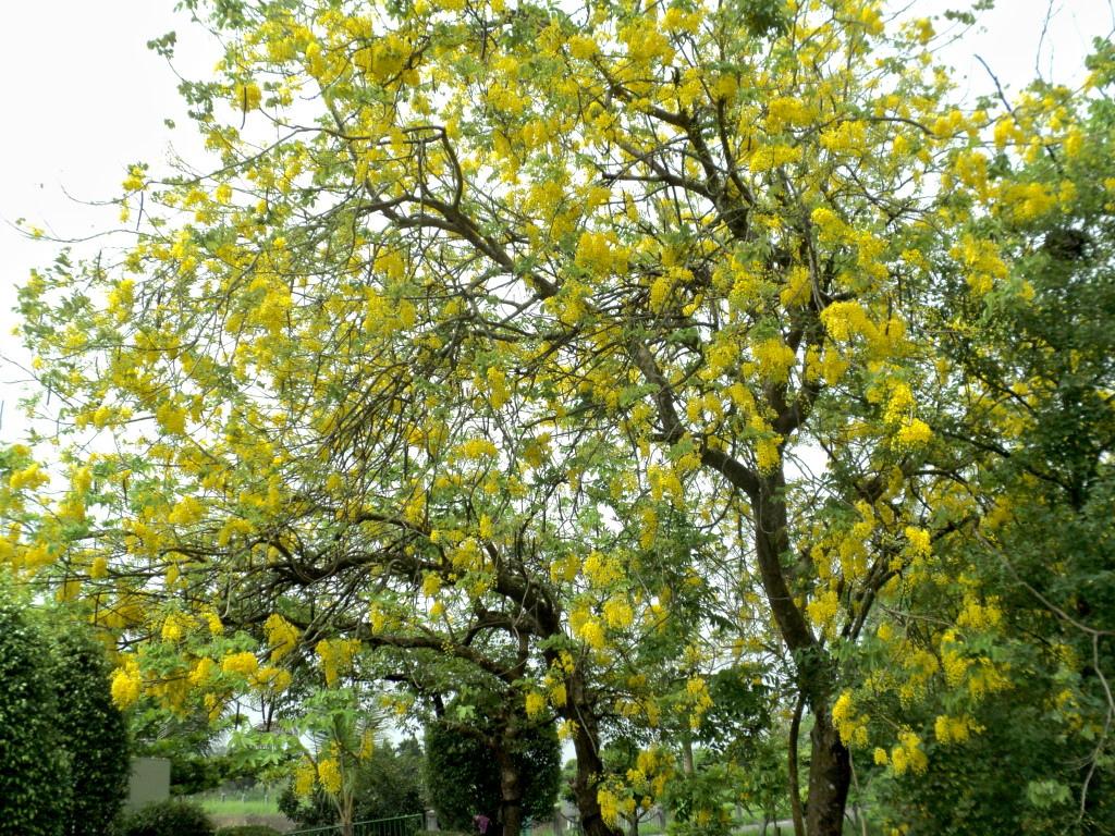 虎頭埤阿勃勒剛進入盛開期,到處金黃一片。