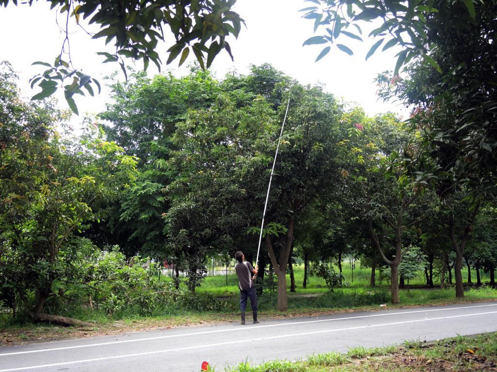 太康綠隧土芒果結實纍纍,沿線常可見民眾架長竹竿採摘芒果。