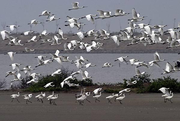黑面琵鷺保育季