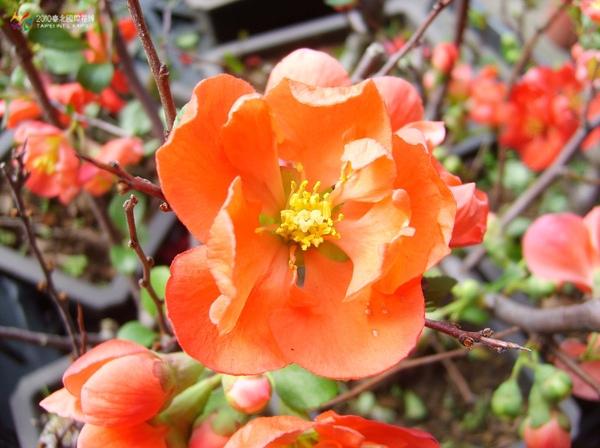 圖二:寒梅的花朵綻放後鮮艷迷人。.jpg