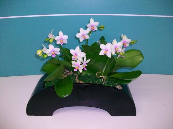 圖一:這款「翡翠」是唯一能夠散發出最具有奶油香氣的小花蝴蝶蘭。.jpg