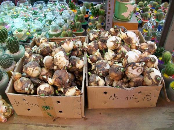 圖一:整箱待售的水仙花種球.jpg