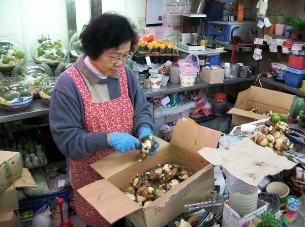 圖三:花商正在雕刻及整理水仙花種球.jpg