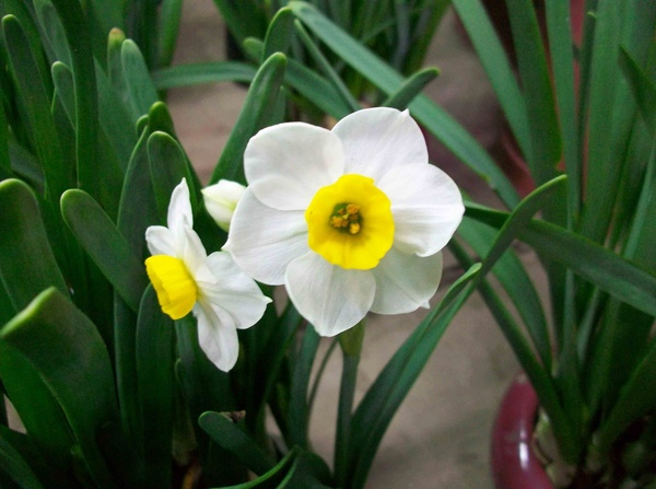 圖五:綻放的水仙花猶如玉盤金盞.jpg