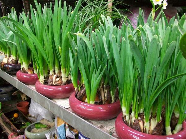 圖六:一盆盆以水培方式種植的水仙花.jpg