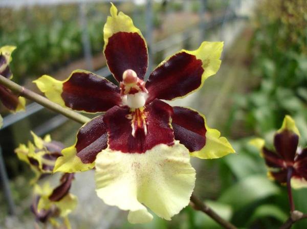 圖四:文心蘭的花雖然看起來有6片花瓣,但上方、右下、左下3片是花萼,真正的花瓣只有3片,而最下方的花瓣通常比較大,顏色也比較鮮豔特殊,又稱為「唇瓣」。(張維倩攝).jpg