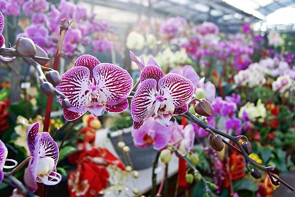 【森林人講座】106/08 蘭花照護與花謝的處理