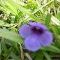 紫色 是馬蹄嗎