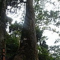 蒼毓滴巨木