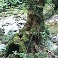 馬胎古道 奇木